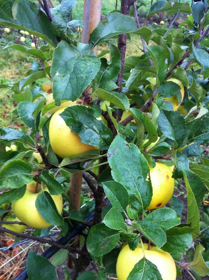 Äppleodlingen
