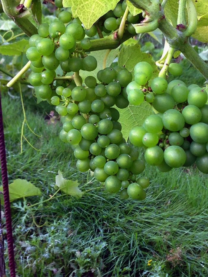 Skepparps vingård